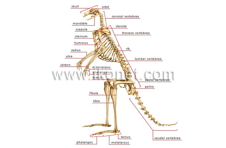 28 Best Kangaroo Images On Pinterest Kangaroo Kangaroos And Anatomy