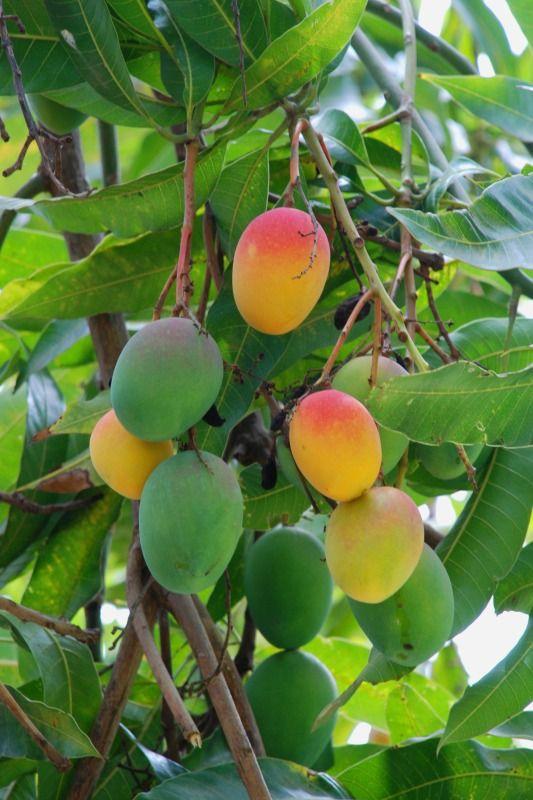 Mangos se cultivan en América Central. Son una fruta tropical amarillenta-roja carnosa que se coma madura.