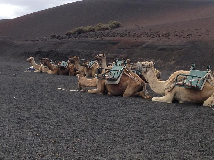 Parque Nacional de Timanfaya. Camellos.