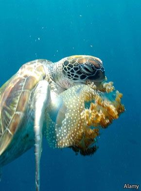 Sea turtles are attracted to the smell of dimethyl sulphide (which smells like cabbage) because it indicates an upwelling zone, where they can find plenty of food