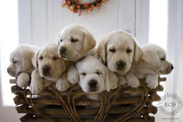 Labrador puppies. So lucky I get to work with these adorable babies Now