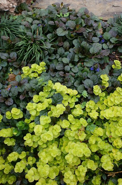 """This photo illustrates the contrast I'd like to see between the plant selections. I'd like the leaf shapes and leaf colors to contrast as well as complement, adjacent plants. These plants could be used around the creek bed. Plants: ajuga, lysimachia, and various Ophiopogon japonicus vary the variegated and non-variegated versions."""