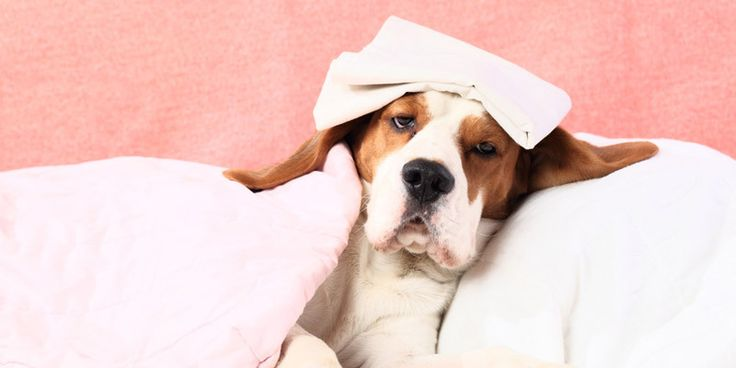 Beteg a kutya? - Hírek #dog #beagle #sick #beteg #kutya #kutyabaráthelyek