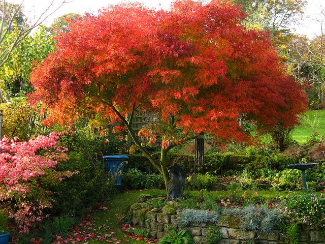 acer palmatum seiryu - Japanese Maple