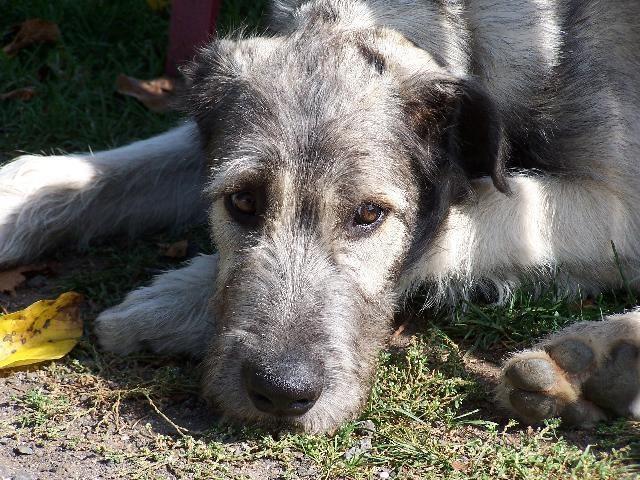 : Favorite Dogs, Irish Wolfhound, Amazing Animals