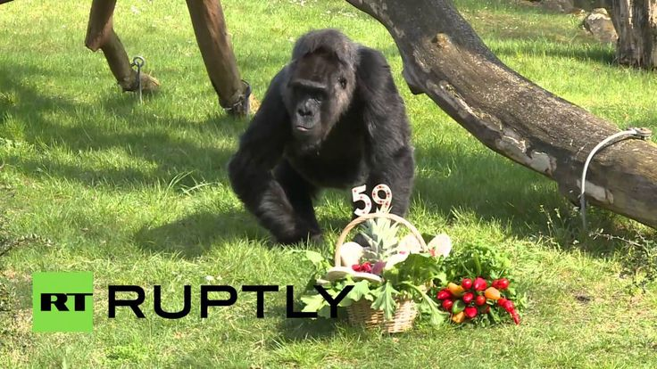 Germany: Happy birthday Fatou! Gorilla turns 59 in Berlin Zoo
