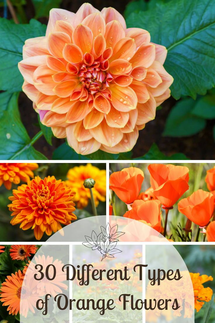 30 Different Types Of Orange Flowers A Z Types Of Oranges Types Of Flowers Orange Flowers