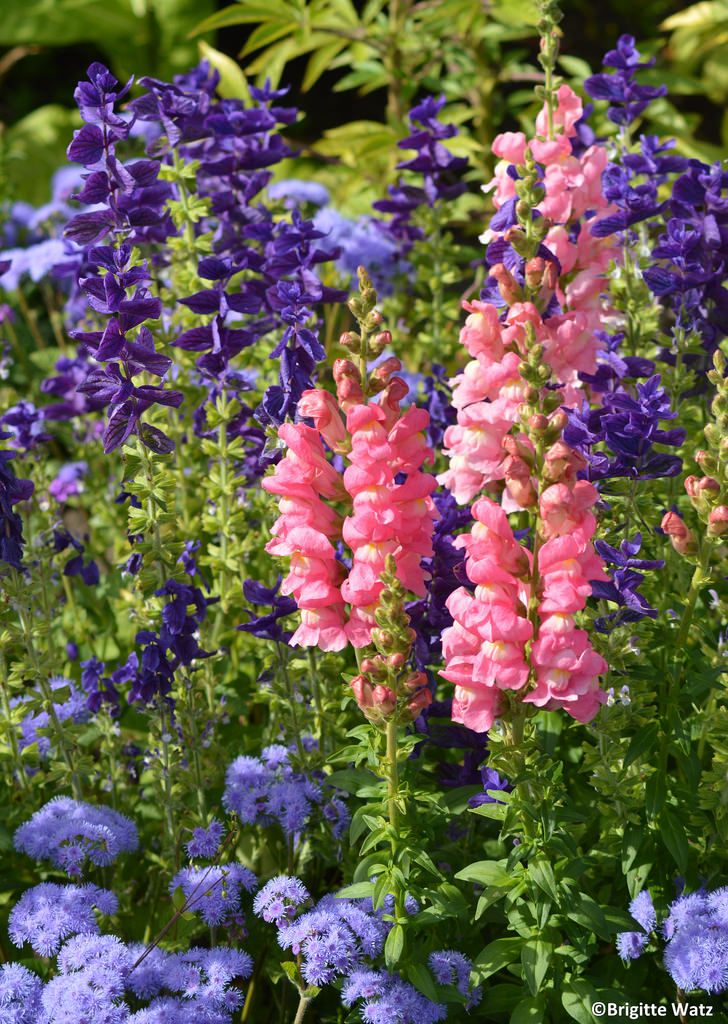 Salvia and pink Snapdragons
