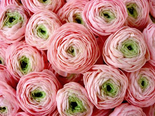 Pink and green French ranunculus. So soft and delicate. Perfect in a vase all by themselves.
