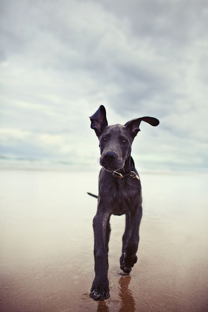 Earnest, a great dane dog, running on the beach. Photo by Hailey and Andrew Bartholomew