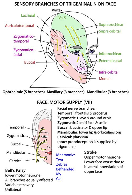nerves of the head neck and face | ... Anatomy - Head and Neck - Nerves - Cranial - VII supplying face