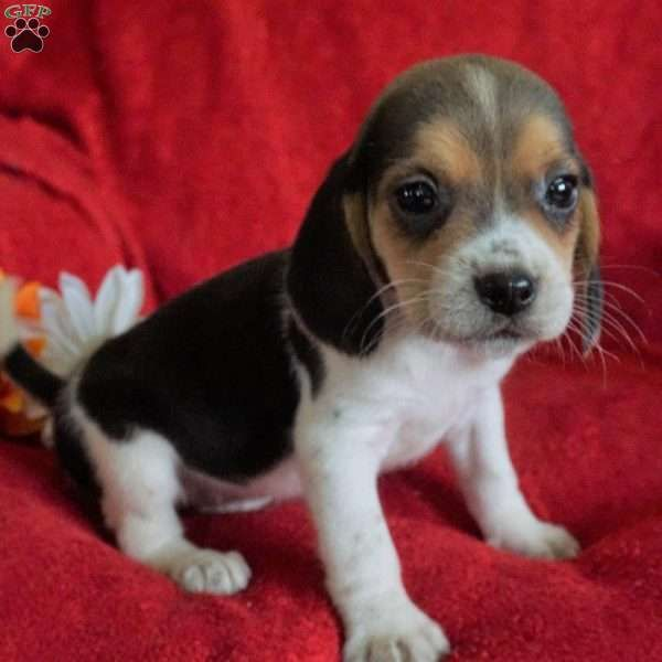 Khloe Beagle Puppy For Sale In Ohio Beagle Puppy Puppies Puppies For Sale