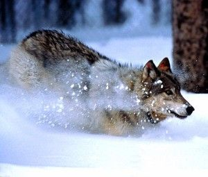 Grey wolves are still at risk of extinction, despite the fact that they have been protected by different laws since 1978. Demand that the federal government give these animals more thorough protections so that they can finally recover from the horrible damage we've done to their populations.