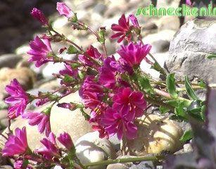 Marvelous Lewisia cotyledon f r hei e Pl tze im Garten