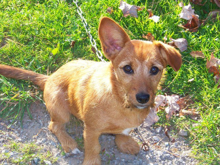 Another cute corgi/terrier mix! Like my Manny but diff coloring