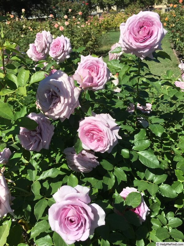 39 violet 39 s pride 39 rose photo purple blue mauve roses. Black Bedroom Furniture Sets. Home Design Ideas