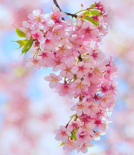 Cherry blossoms - gloriously beautiful.