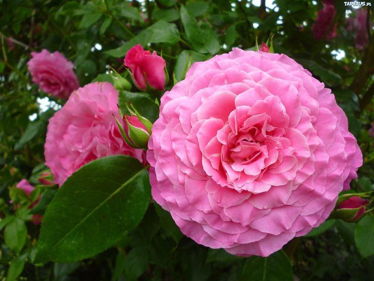 Róże, Różowe