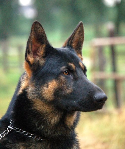 """The German Shepherd Dog (GSD) - my all-time favorite breed and the biggest dose in the """"cocktail"""" of breeds in my sweet monster, Roxie"""