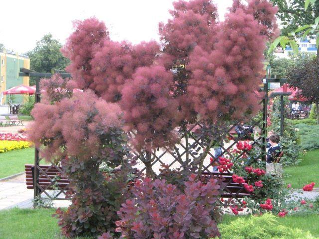 perukowiec drzewo - Szukaj w Google