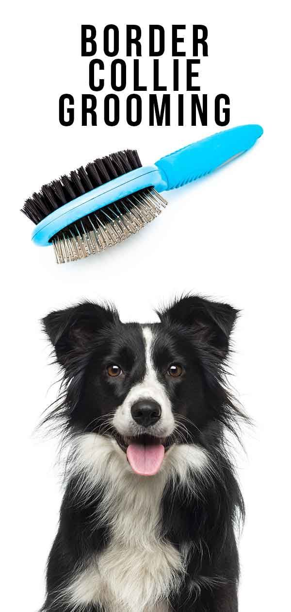 Border Collie Grooming Top Tips For Shiny Fur Healthy Skin Border Collie Puppy Training Border Collie Collie