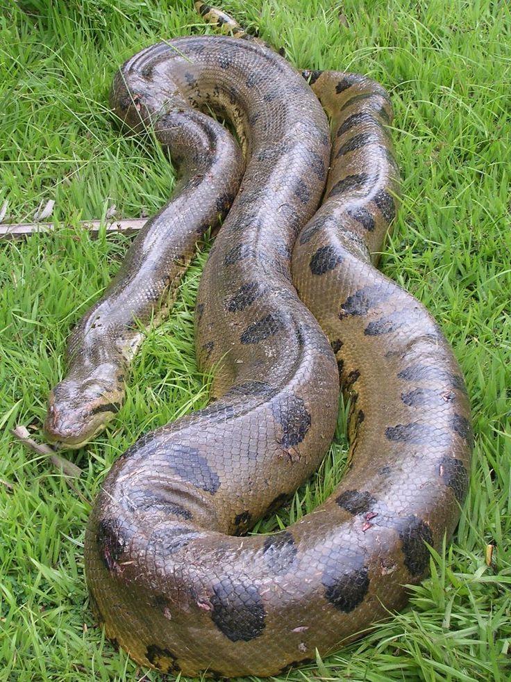были огромная змея картинки будет рассказано