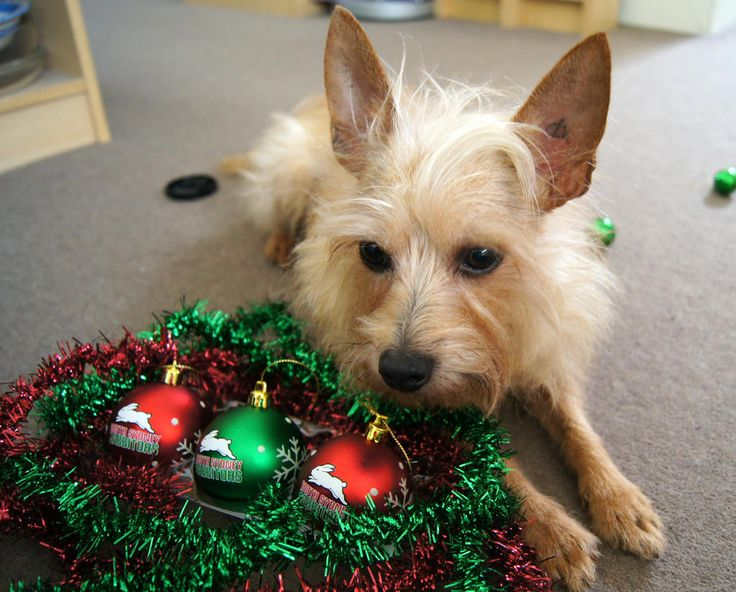 Great shot of the pooch checking out the Christmas decorations. Thanks to @afteews on twitter