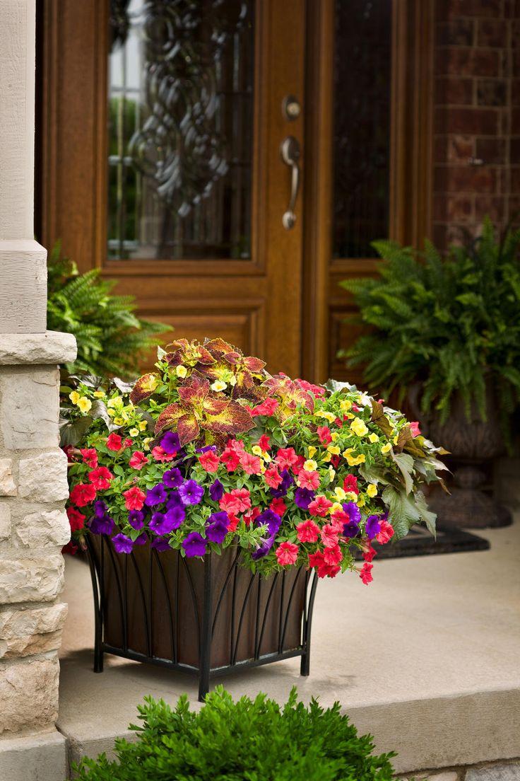 Supertunia royal velvet petunia hybrid gardens planters and chang 39 e 3 - Container gardens for sun ...