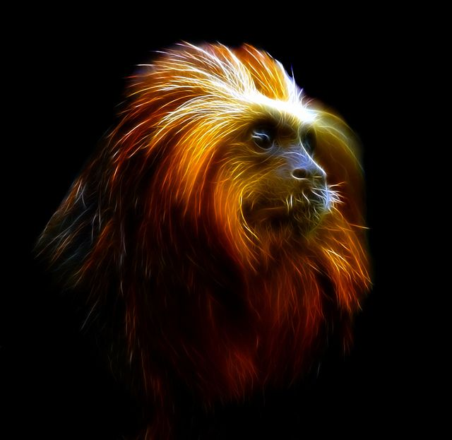 Golden Headed Lion Tamarin  This is a beautiful animal portrait. I love the highlights and colors to its hair.