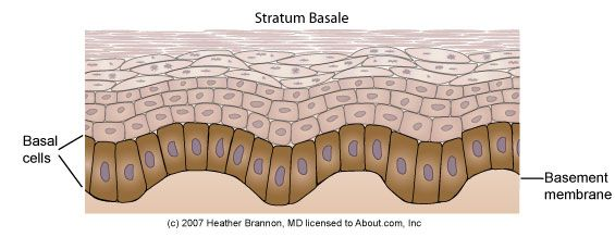 Epidermis Anatomy: Stratum BasaleThe stratum basale is the bottom layer of keratinocytes in the epidermis and is responsible for constantly renewing epidermal cells. This layer contains just one row of undifferentiated columnar stem cells that divide very frequently. Half of the cells differentiate and move to the next layer to begin the maturation process. The other half stay in the basal layer and divide over and over again to replenish the basal layer.