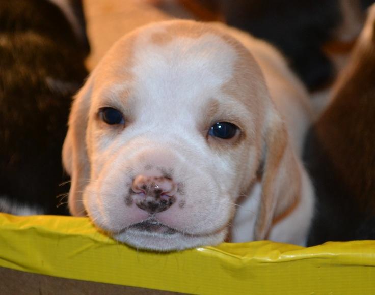3 week old lemon beagle