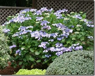How/When to prune hydrangeas
