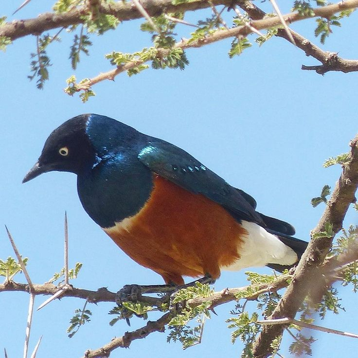 #Superb #starling on a #fevertree in #Serengeti #nationalpark #Tanzania. #bird #birdlovers #natgeo #safari #africa #awesome_shots #wilderness #lonelyplanet #savetheplanet #birders #travelphotography #travel #birdwatching #birdwatchers #africanbirds #wanderlust #trees #plasticsurgeon