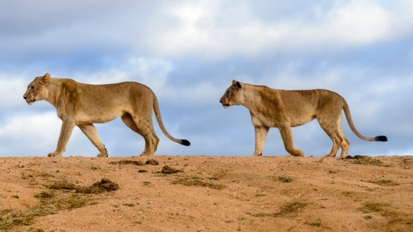 Two lions on a dam wall in Madikwe game reserve South Africa