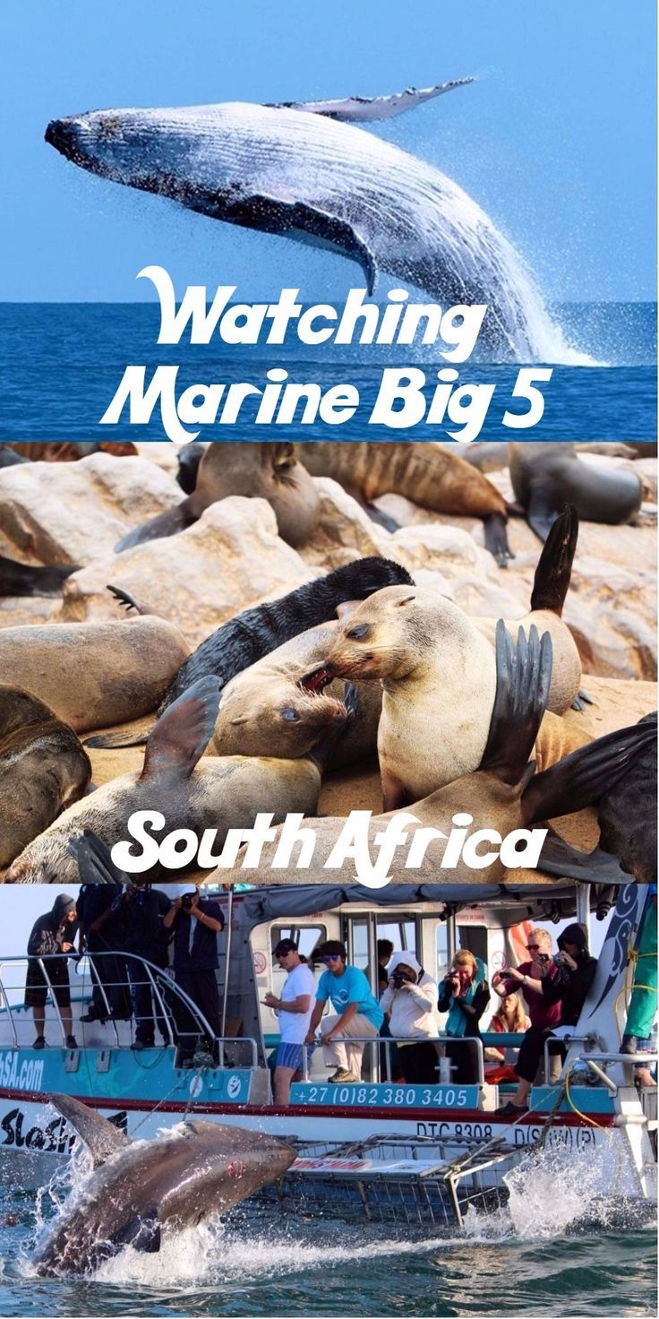 South Africa is a great place for watching a wild life including the Marine Big 5; whales, sharks, seals, dolphins and penguins. #SouthAfrica #MarineBig5 #whales