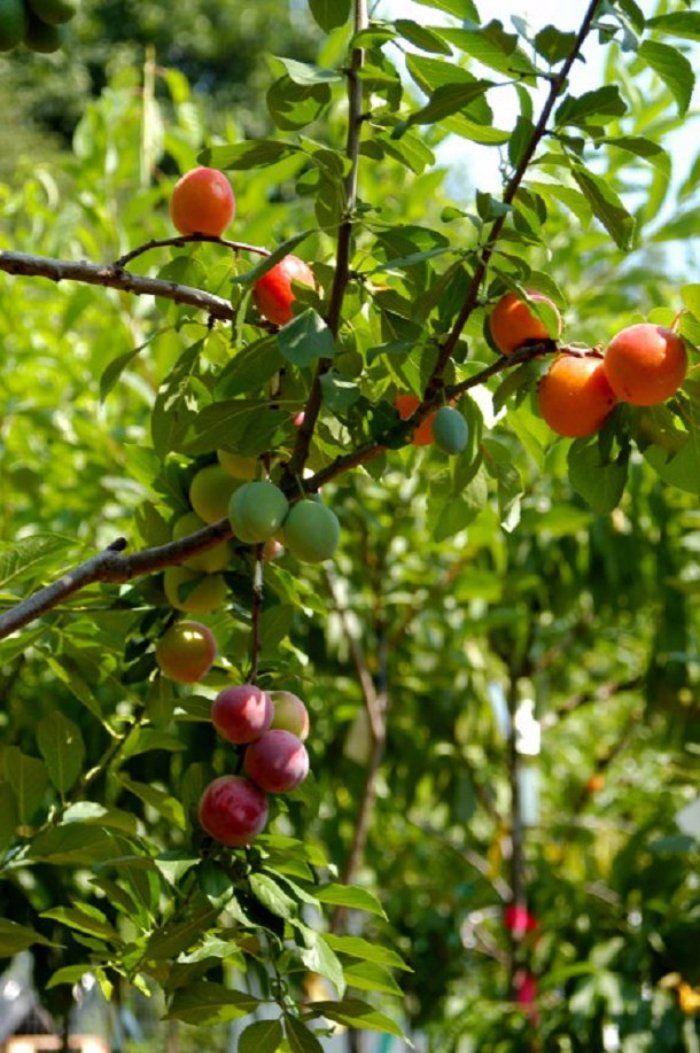 Sur cet arbre pousse 40 fruits ! Oui, 40 ! Et ce n'est pas une blague. Conçu par un artiste (et savant-fou), cet arbre est bel et bien réel. Chaque année, il produit des pêches, des nectarines, des abricots... Une réelle prouesse et un magnifique arbre ! #nature #fruits #invention #usa