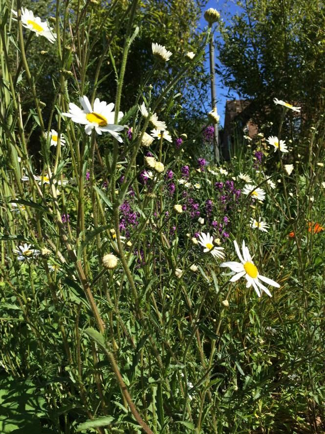 @seed_ball wild flower takeover in the border is now in full glory ! Love it!