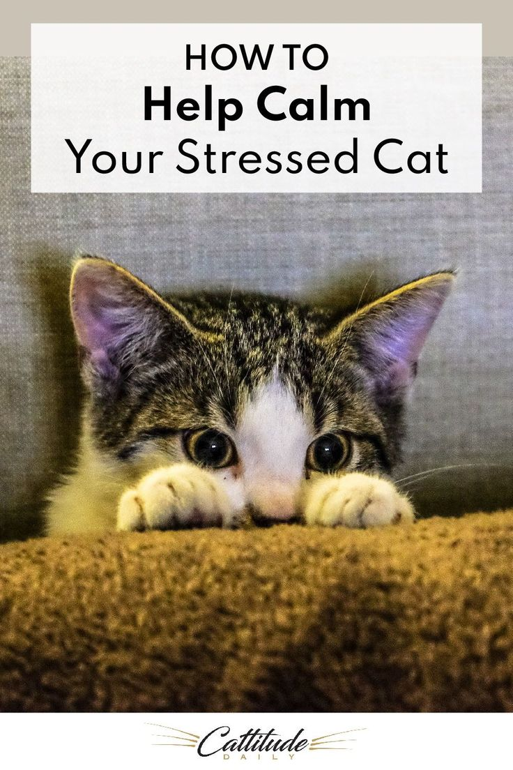 How To Help Calm Your Stressed Cat Cattitude Daily in