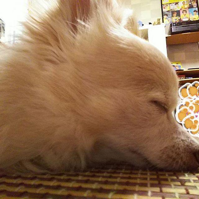 ねむ〜い💦  お外もアツ〜ぃ💦💦 愛犬も飼主と同じく ダラダラすごしております💧  例年に比べ早い時期から クーラーが朝からフル稼働し いつもより、さらに早く 夏バテが来てます💦  毎日、暑い日が続きますが 皆様お身体大事に なさってください✿  #クーラーフル稼働 #愛犬の為なら気にしちゃおれん #全てはコノ仔の為 #allforU #allforU^ェ^U #allforSHANA♡ #ロンチー #チワワ #Chihuahua #Chihuahueño #愛犬 #遮那王 #SHANAOH #にゃにゃ #暑さに弱いのです #今日もカワイイお顔で #親バカ #夏バテ注意 #減量には最適 #KAYO
