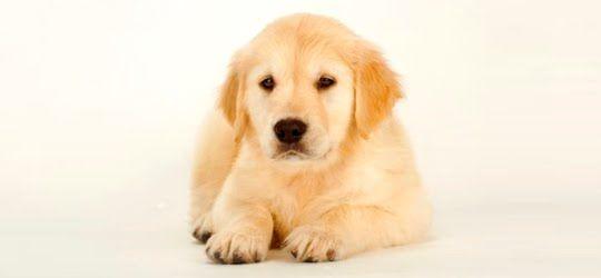 A vermifugação é fundamental para a proteção dos cães. Mesmo adultos, eles precisam de vermífugo. Confira algumas dicas sobre o assunto. A vermifugação é recomenda pela Associação Americana de Vete...