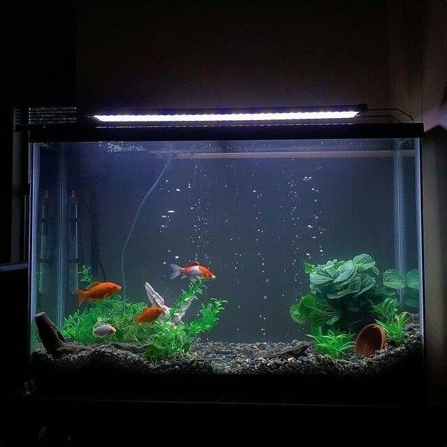 40 Gallon Aquarium Goldfish Tank Goldfish Tank Goldfish Aquarium Freshwater Aquarium