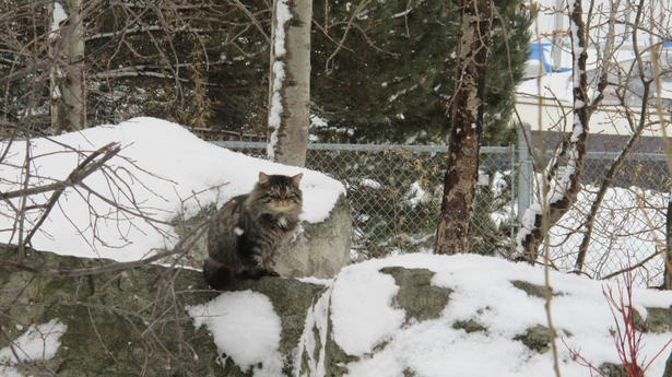 The cat in this photo is Cheshire aka: the Brad Pitt of Cats. The cat that Jack Lakey reports on is HalfMask, who still lives and is cared for at the Scarborough Bluffs. The Fixer: All but one of Bluffers feral cats is gone - thestar.com  Published on Monday March 14, 2011