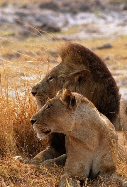 A cool picture of marriage. Both are powerful, king of the animal kingdom... they're BOTH lions. And they're existing side-by-side. Love it!