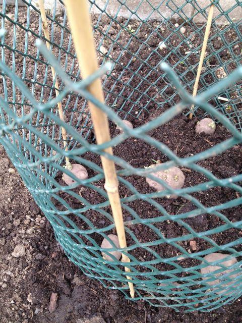 Easiest Potato Growing Method Ever Gardens Potatoes 400 x 300