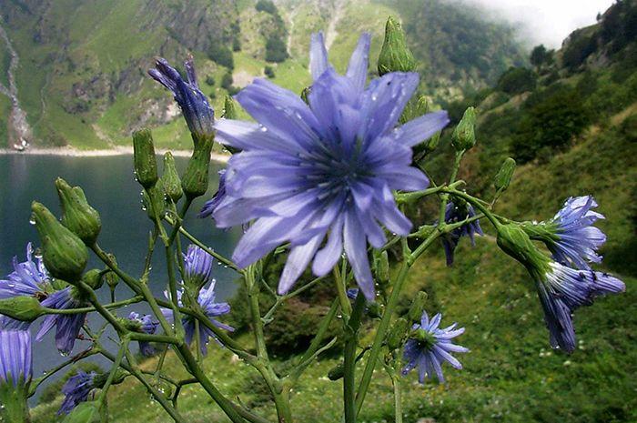 L'utilisation delachicoréeen Europe remonte jusqu'au Moyen Age, appréciée pour ses innombrables qualités, elle représentait l'une des plantes les plus précieuses de la médecine traditionnelle.Aujourd'hui, elle est surtout connue en tant que substitue du café, et