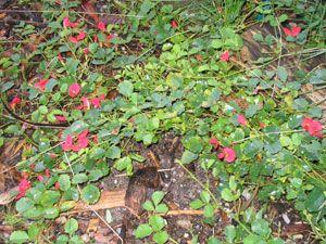 Bushfoods Info   Sustainable Gardening Australia