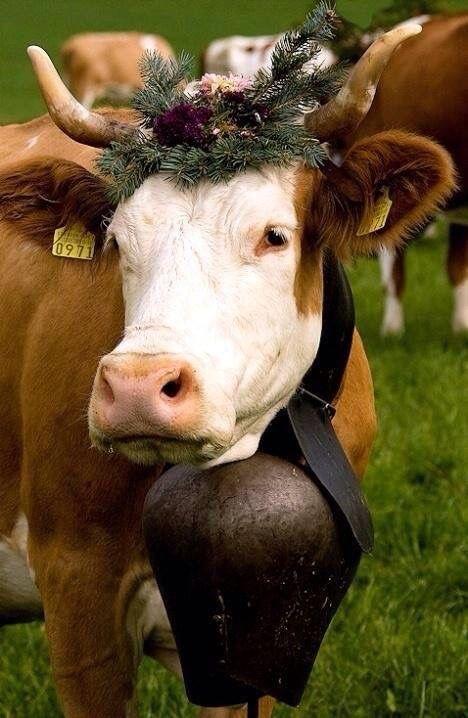 festive cow