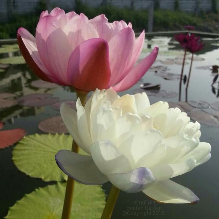 Lotus By Duongquocdinh On Deviantart Lotus By