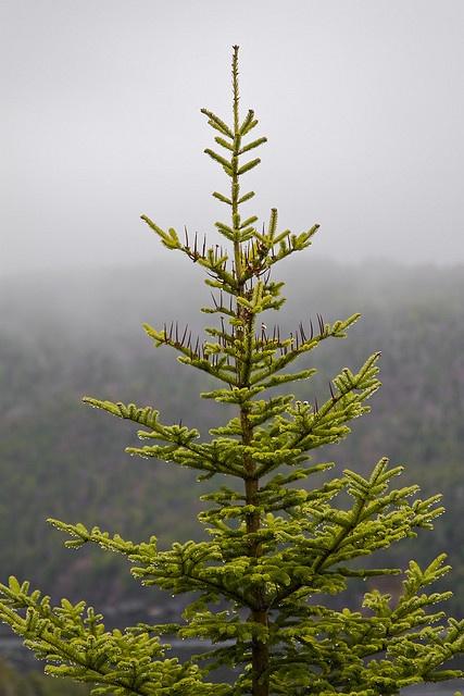 Evergreen Tree in the Fog & Rain, Newfoundland, Canada