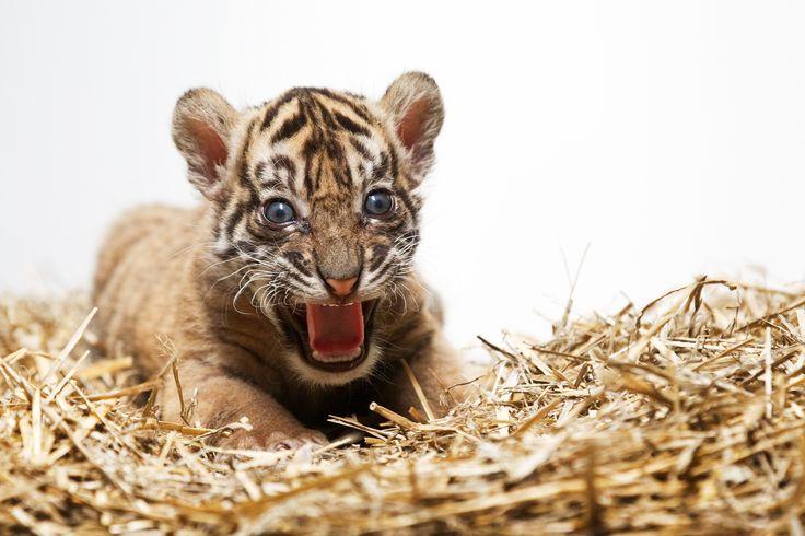 Tygr Sumaterský, nový přírůstek v pražské zoo